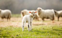 lamb uai