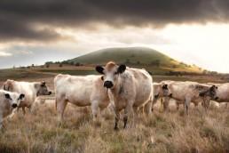 cows uai
