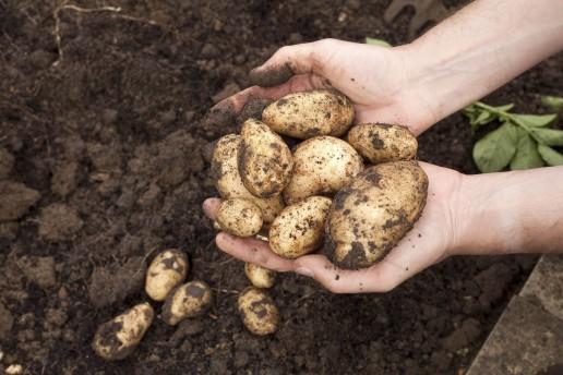 Potatoes 2 uai