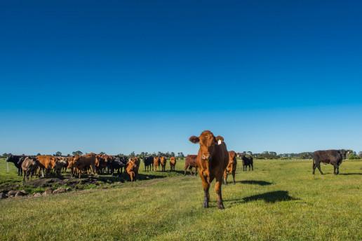 Cattle Copyright Richard Cornish. Credit Richard Cornish. 19 uai