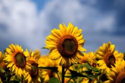 Sunflowers uai
