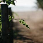 midhill vineyard