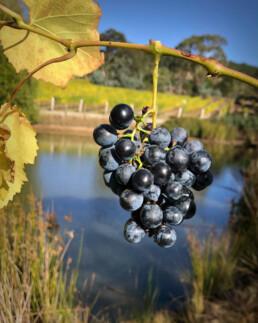gisborne peak grapes uai